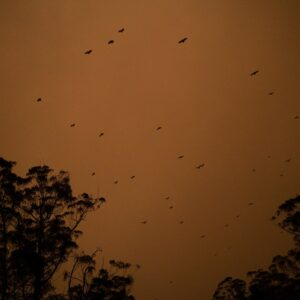 A view of bats flying through a smokey sky above the Princess Highway between Ulladulla and Batemans Bay in NSW, Australia on Jan. 4, 2020. According to the NSW Rural Fire Service 137 fires burnt throughout NSW on Saturday, with approximately 60 that were uncontained. Since the fire season started there have been 23 deaths, more than 1,300 homes destroyed, countless animals killed and tens of thousands of acres of national park and forest land burned. Photo by Adam Ferguson